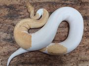 1 0 Coral Glow Pied