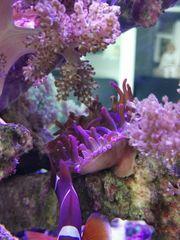 Meerwasser Ableger SPS LPS Kupferanemone