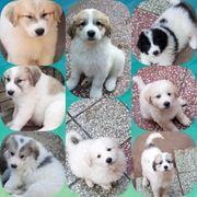 Pyrenäenberghund Welpen Hunde