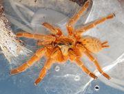 Pterinochilus murinus Usambara OBT und
