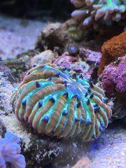 Koralle Fungia Cycloseris rainbow multicolor