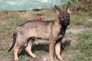 Deutsche Schäferhund Welpen Rüden