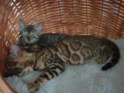 Bengal Kitten Kater und Katze