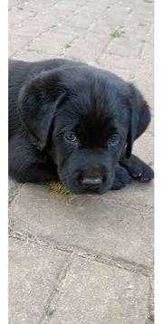 Labrador Welpen mit Stammbaum abgabebereit