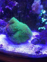 Star Polyps koralle