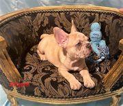 Französische Bulldoggen Welpen Blue Merle