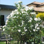 2 wunderschöne weiße Oleander