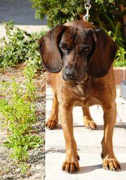 Bayerischen Gebirgsschweißhund Deckrüden aus französischen