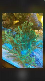 Koralle Sinularia Weichkorallen
