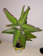 Große Goethepflanze Bryophyllum Brutblatt MIT