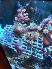 Großes Korallenpaket 8 Stück Meerwasser
