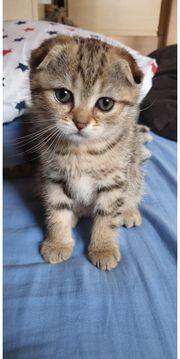 Hübsches Schottischfold Kitten Weibchen