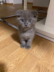Scottish Fold Baby Katze
