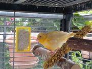 Junger Kanarienhahn gelb abzugeben