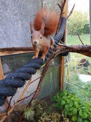 Europäische Eichhörnchen Jungtiere rotbraun grau