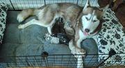 Süße Reinrassige Sibirien Husky Welpen