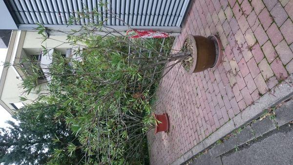Yukapalmen und große Oleander 1