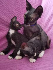 Kanadische schwarze mix Sphinx Kitten