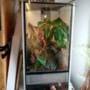 Terrarium mit vietnamesischen Goldgeckos