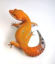 leopardgeckos aus 2019 Fallingbostel oder