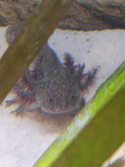 Axolotl Jungtiere 15-17cm Weiß und