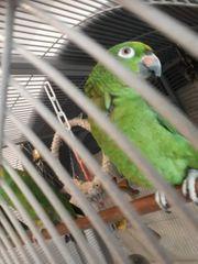 2 Papagei weblish elterste 11