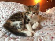 Katzen-Babys dreifarbig