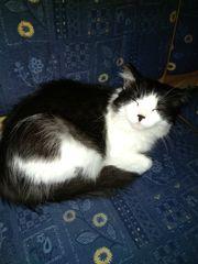 Schwarz weiß Langhaar Katze