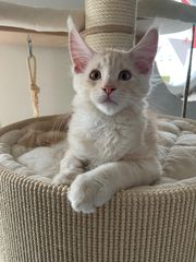 Maine Coon Kitten reinrassig