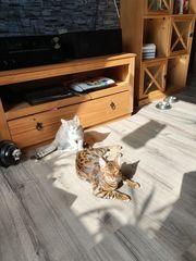Ich suche Bengalen kitten