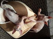 Sphynx Kitten 4 Monaten alt