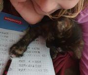 12 wochen altes Zuckersüsses Kittenmädchen