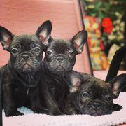 French Bulldog Puppies in Black-Tan