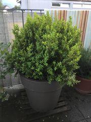 Kleiner Buchsbaum