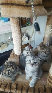 Bkh Kitten Kätzchen