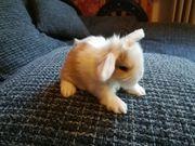traumhaft schöne Mini Lop Kaninchen