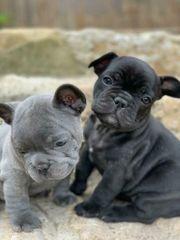 Bildhübsche französische Bulldoggen mit Papieren