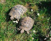 Kleine 3er Zuchtgruppe Griechischer Landschildkröten