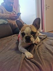 9 Monate junge französische Bulldogge