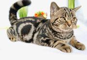 Reinrassiger BKH Kater in Tiger-look