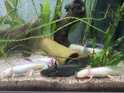 noch 2 Axolotl stehen zum