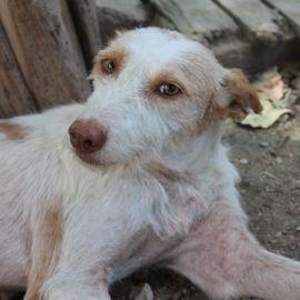 Hunde - Cana eine süße Podenca