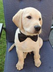 Süßer Labrador Welpe Sammy sucht