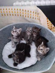 Schöne BKH-Kitten
