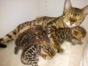 Bengal Kitten Katze Kater mit