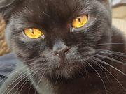 Würfanküdigung - BKH - Britisch Kurzhaar - Kitten -