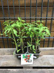 6 x Tomatenpflanzen - braun - ca