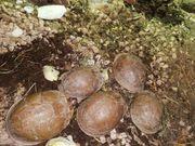 2 3 altgruppe Dreizehen-Dosenschildkröte - Terrapene