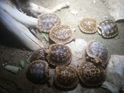 Spaltenschildkröten Malacochersus tornieri