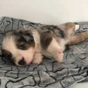 Mini Australian Shepherd Welpen mit